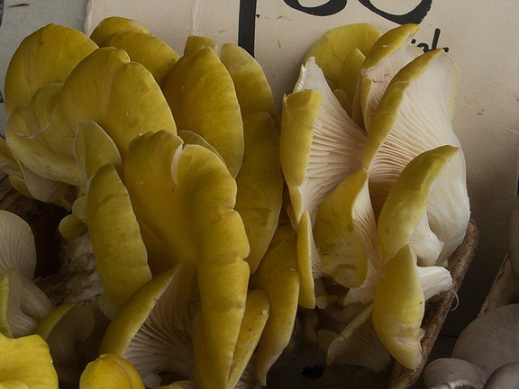 yellow-oyster-mushrooms-at-farmers-market-near-City-Hall-SF-2012-12-14-IMG 3066