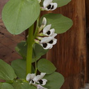 Vicia-faba-fava-bean-plant-in-pot-YMCA-Campbell-Camp-SoBeFree19-2014-03-29-IMG 3470