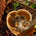 bracket-fungus-Big-Basin-Redwoods-SP-SoBeFree19-2014-03-29-IMG 3469