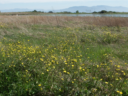 view-vernal-pools-Caltha-palustris-Santa-Rosa-Plateau-2011-03-16-IMG 7250