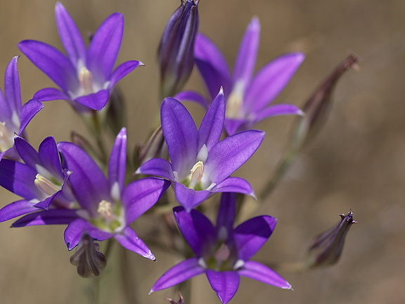 Brodiaea-elegans-meadows-Hwy-120-W-of-Yosemite-2010-05-23-IMG 0792