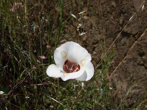 Calochortus-superbum-Hwy-120-W-of-Yosemite-2010-05-23-IMG 5546