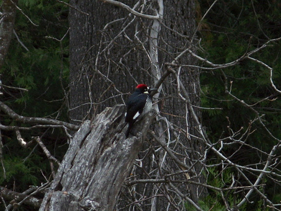 acorn-woodpecker-Yosemite-Valley-2010-05-24-IMG 5611