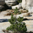 white-pine-in-rock-crevices-2007-08-05-img 4289