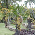 Grammatophyllum-huge-Warwick-2000-Nov-Dec