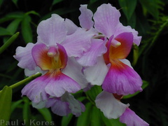 Vanda-ms joaquin-suva-2000-Nov-Dec