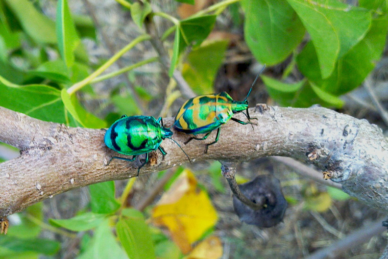 brilliant-rosechafer-beetles-Cerambicids-on-Hernandia-Wailoaloa-Viti-Levu-2015-07-26_020_1.jpg
