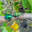brilliant-rosechafer-beetles-Cerambicids-on-Hernandia-Wailoaloa-Viti-Levu-2015-07-26 020 1