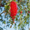 Callistemon-sp-red-bottlebrush-2010-03-18-IMG 4046