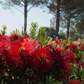 Callistemon-sp-red-bottlebrush-2010-03-23-IMG_4053.jpg
