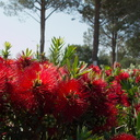 Callistemon-sp-red-bottlebrush-2010-03-23-IMG 4053