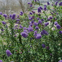 Ceanothus-sp-midnight-blue-near-EATM-Moorpark-College-2013-03-19-IMG 0351