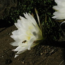 Cereus-blooming-moorpark-parking-lot-2008-12-18-IMG 1641