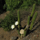 Cereus-blooming-moorpark-parking-lot-2008-12-18-IMG 1644