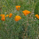 Escscholtzia-and-Lupinus-California-poppy-near-EATM-Moorpark-2014-02-19-IMG 3170