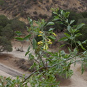 Nicotiana-glauca-yellow-tree-tobacco-flowering-Moorpark-campus-2014-12-01-IMG 4276.