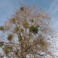 Phoradendron-in-leafless-sycamore-2013-01-29-IMG_3392.jpg