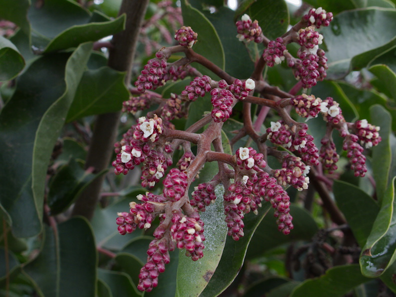Rhus-ovata-sugarbush-in-bud-Moorpark-campus-2014-12-01-IMG_4272..jpg
