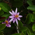 indet-purple-flowered-shrub-gynandrium-Moorpark-campus-2014-12-01-IMG 4290.