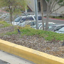 lazuli-bunting-Passerina-amoena-migrating-through-Moorpark-College-parking-lot-2013-02-19