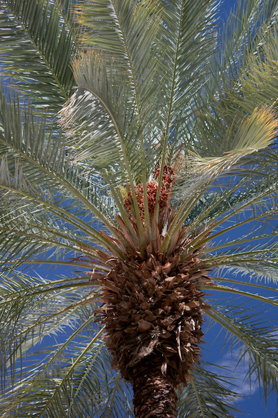 date-fruits-on-palm-tree-Date-Palm-Oasis-Mecca-2016-03-04-IMG 2838