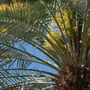date-palm-inflorescences-Oasis-Date-Gardens-Thermal-CA-IMG 1085