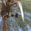 dates-on-palm-Oasis-Date-Gardens-2010-11-19-IMG 1437