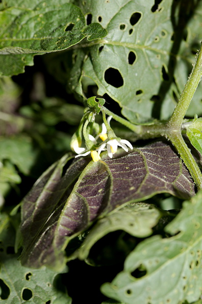 edible-Solanaceae-looks-like-deadly-nightshade-Hmong-vegetable-Sheboygan-Farmers-Market-2016-08-13-IMG_3462.jpg