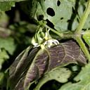 edible-Solanaceae-looks-like-deadly-nightshade-Hmong-vegetable-Sheboygan-Farmers-Market-2016-08-13-IMG 3462