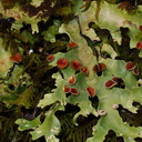 foliose-lichen-Pseudocyphellaria-sp-Nothofagus-beech-forest-Bealeys-Valley-Arthurs-Pass-2013-06-14-IMG 1523