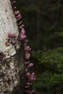 tiny-purple-bracket-fungi-Nothofagus-beech-forest-Bealeys-Valley-Arthurs-Pass-2013-06-14-IMG 1518
