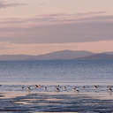 pied-stilts-and-oystercatchers-Rays-Rest-Miranda-Bird-Reserve-2013-07-01-IMG 2157