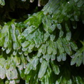 Hymenophyllum-sp-filmy-fern-on-forest-track-Denniston-2013-06-12-IMG 1337