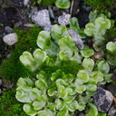Lunaria-liverwort-and-cushion-moss-BP-gas-station-Nelson-2013-06-09-IMG 1261