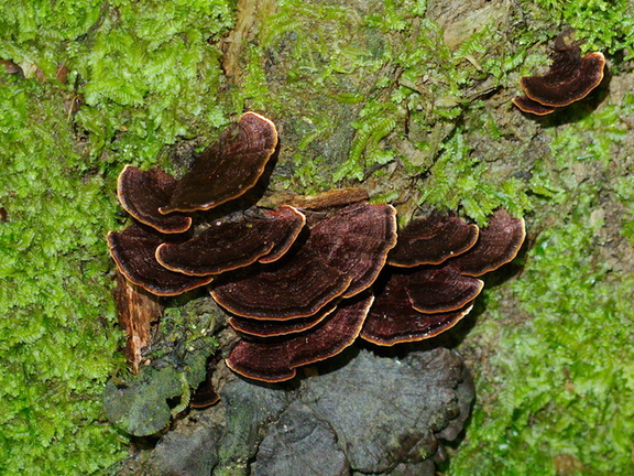 bracket-fungus-with-gold-rim-Abel-Tasman-coast-track-2013-06-07-IMG 1206