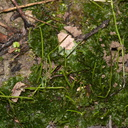 hornwort-near-steps-to-Mt-Parihaka-lookout-Whangarei-13-07-2011-IMG 2928