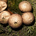 puffball-mushrooms-Drummond-Track-Parihaka-2017-05-26-IMG_8366.jpg