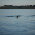 dolphins-leaping-in-estuary-Whangarei-Channel-2015-09-27-IMG_1568.jpg