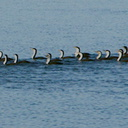 pied-shags-swimming-in-formation-Beach-Rd-Onerahi-2017-05-08-IMG 8238 v2