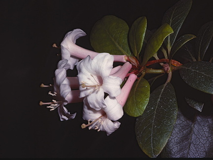 Rhododendron-armittii-West-New-Guinea-Edinburgh-Bot-Gard-1982-042