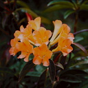 Rhododendron-aurigeranum-WEI-grounds-PNG-1976-116