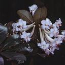 Rhododendron-cruttwellii-Bulldog-Rd-PNG-1978-037