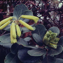 Rhododendron-pachycarpon-Mt-Bangeta-11000ft-3in-long-PNG-1975-105