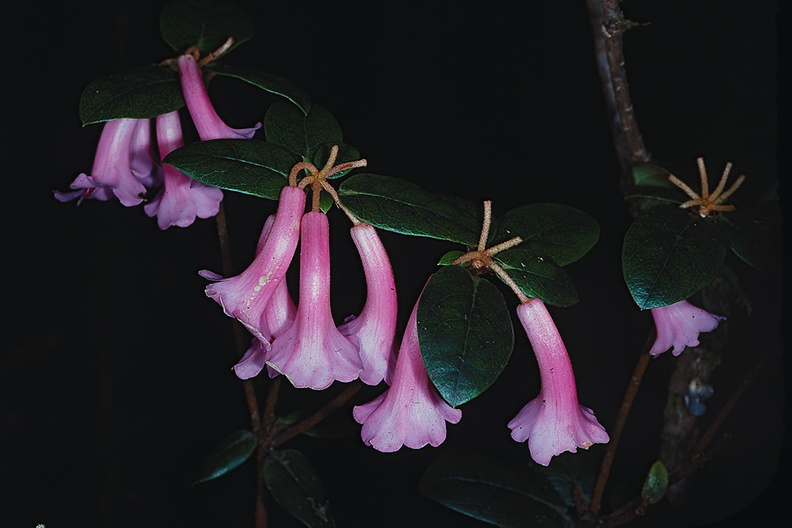 Rhododendron-phaeochitum-publ-QBull-Am-Rhod-PNG-1975-077.jpg