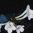 Rhododendron-pleianthum-Bulldog-Rd-PNG-1976-046