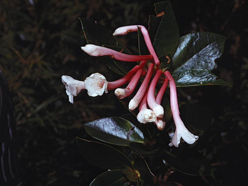 Rhododendron-tuba-PNG-1974-048.jpg