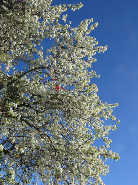 apple-tree-blooming-2015-02-03-IMG 4409