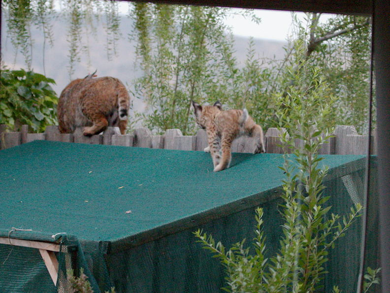 bobcat-and-her-three-kits-in-back-garden-Moorpark-2015-05-05-IMG 0620