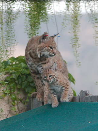 bobcat-and-her-three-kits-in-back-garden-Moorpark-2015-05-09-IMG 0677