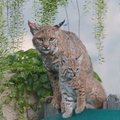 bobcat-and-her-three-kits-in-back-garden-Moorpark-2015-05-09-IMG 0681